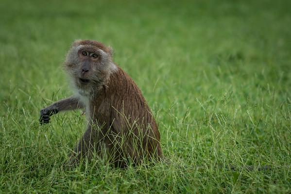 Wild monkey on the island of Koh Lanta