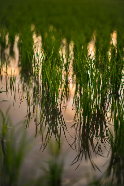 Detail of a rice field in San Patong, Thailand