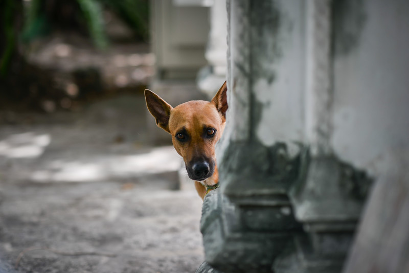 One of many stray dogs that like to hang around the temples in Bangkok, Thailand