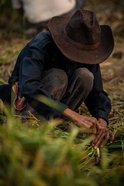 A Thai farmer picking green onion from the fields in Pai, Thailand