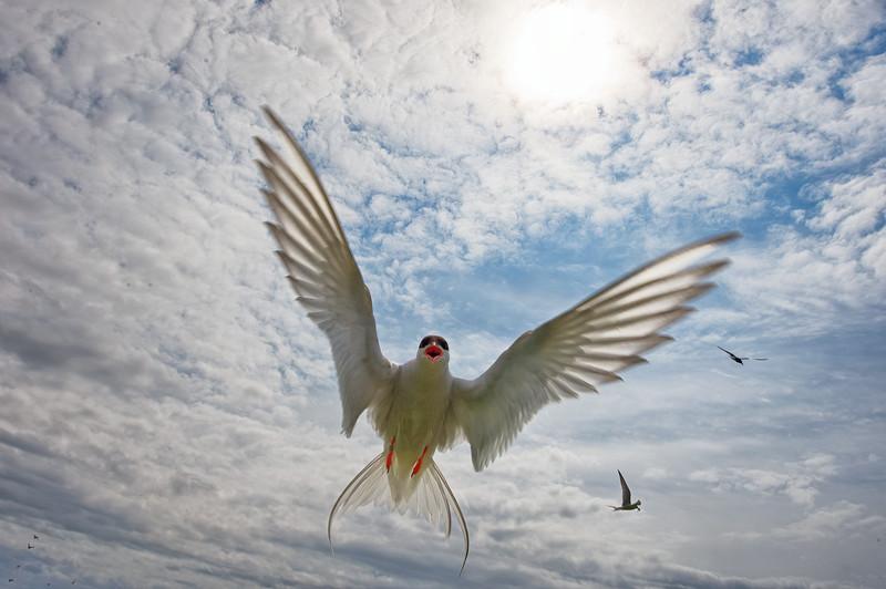 Tern Attack