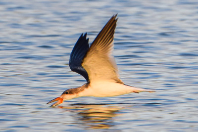 Black Skimmer Munchin'