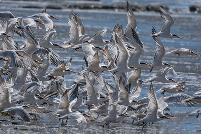 Caspian Terns, Drakes Beach, Point Reyes National Seashore.