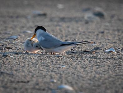 Least Tern chick nussle