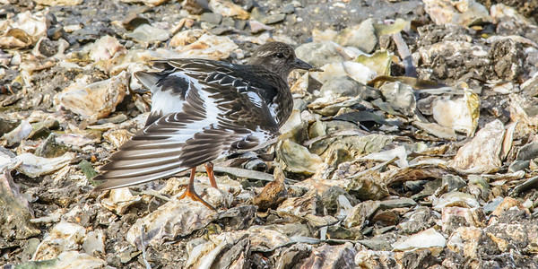 Black Turnstone, Drakes Estero, Point Reyes National Seashore.
