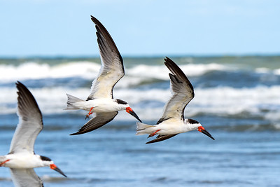 Royal Terns flying over New Smyrna Beach