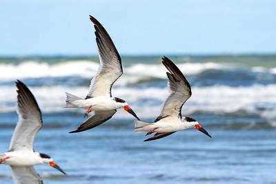 Royal Terns flying over New Smyrna Beach