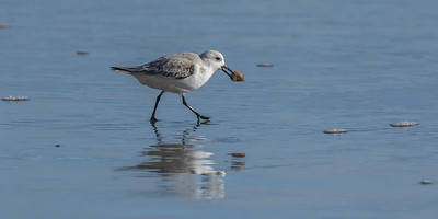 Sanderling at Drakes Beach, Point Reyes National Seashore