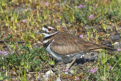 Nesting Killdeer, Sholemberger Park, Petaluma, California