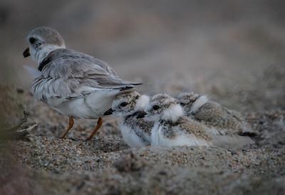 Piping Plover Mama & 3 chicks
