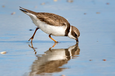 Semipalmated Plover at New Smyrna Beach