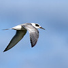 Common Tern at Viera Wetlands