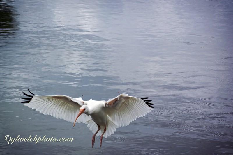 Ibis landing