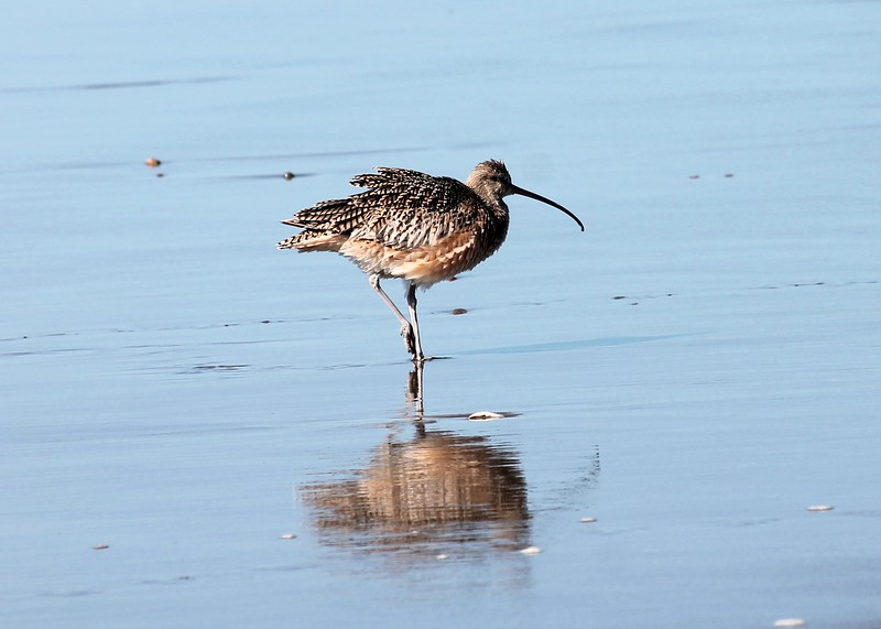 Monterey Bay Ruffled Whimbrel