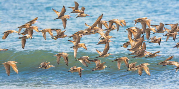 Marbled Godwits at Drakes Beach, Point Reyes National Seashore.