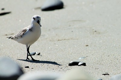 Malibu Plover Shore Bird