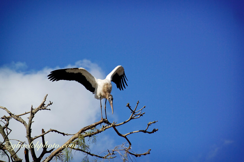 Wood Stork with Wings Spread