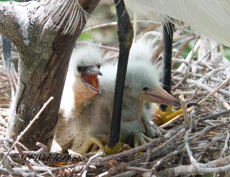 Snowy Egret babies in nest