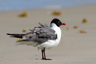 Breeding Laughing Gull at New Smyrna Beach, Florida