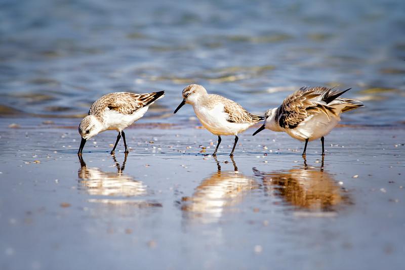 Sanderlings (Sandpipers) at New Smyrna Beach