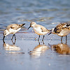 Sanderlings (Sandpipers) at New Smyrna Beach