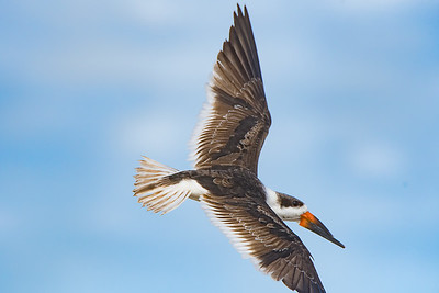 Skimmer in Flight over New Smyrna Beach, Florida