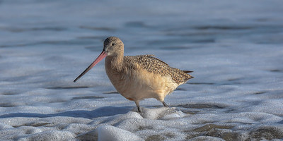 Marbled Godwit at Drakes Beach, Point Reyes National Seashore.