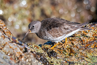 Purple Sandpiper at Ponce Inlet, Florida