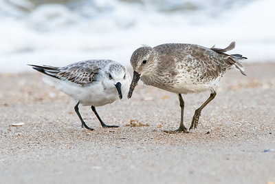 Sanderling on the left with a Red Knot