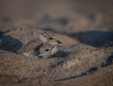 Piping Plover siblings