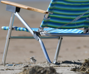 Piping Plover chick & beach chair