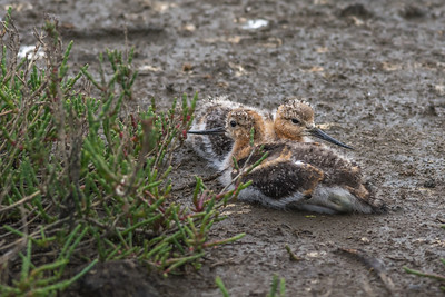 Avocet chicks, Petaluma wetlands, California.