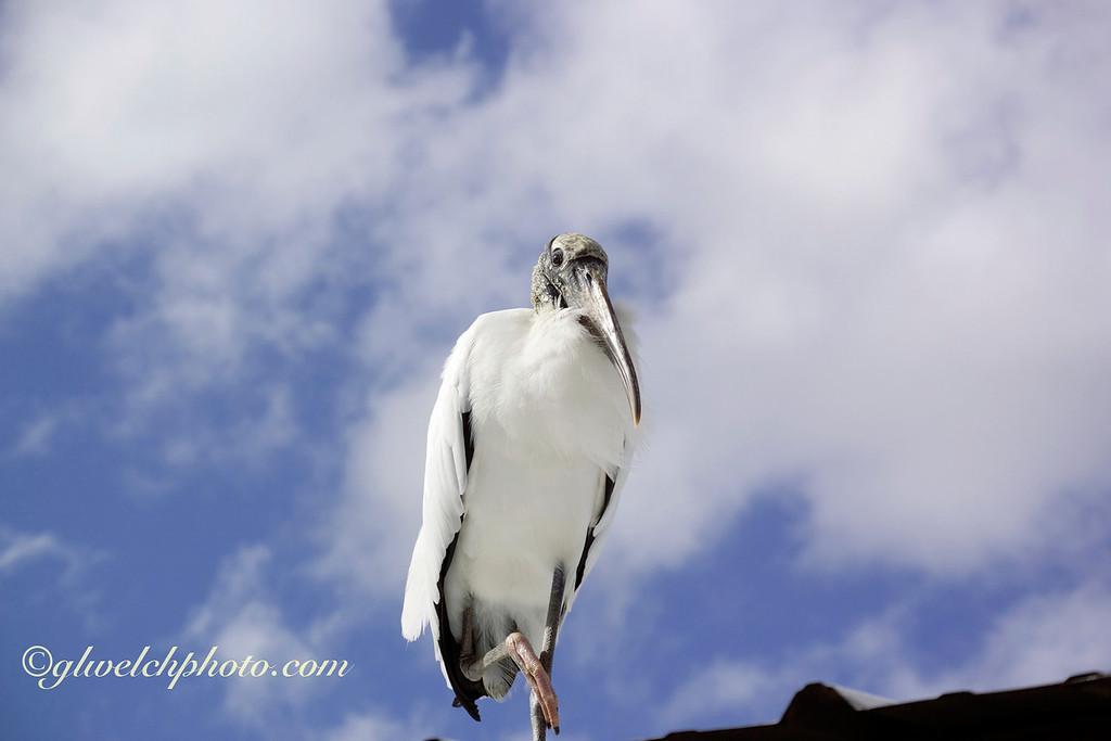 Wood Stork Against the Sky