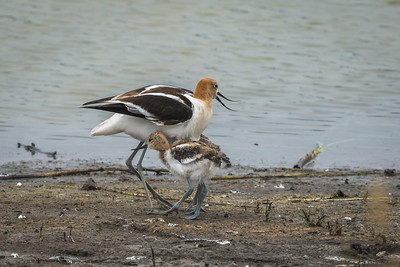 Avocet mom and chicks, Petaluma wetlands, California.