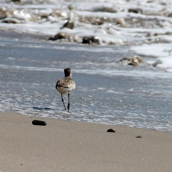 Malibu Plover Walking 2