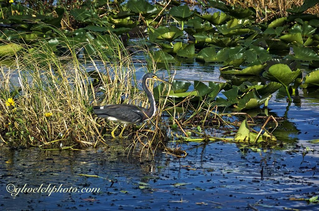 Little Biue Heron On Lake Kissimmee