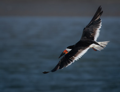 Black Skimmer flyer