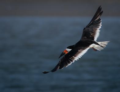 Black Skimmer flyer