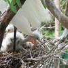 Snowy Egret Babies