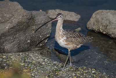 Long-billed Curlew, Moss Landing, California.
