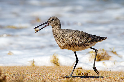 Willet at New Smyrna Beach, Florida