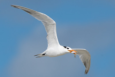 Royal Tern with Fish at New Smyrna Beach
