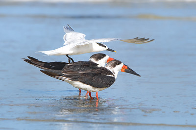 Sandwich Tern and Skimmers
