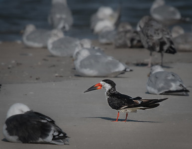 Black Skimmer watching