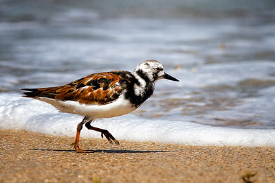 Ruddy Turnstone in Breeding Colors