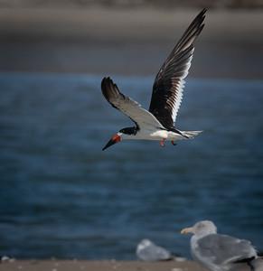 Black Skimmer take off
