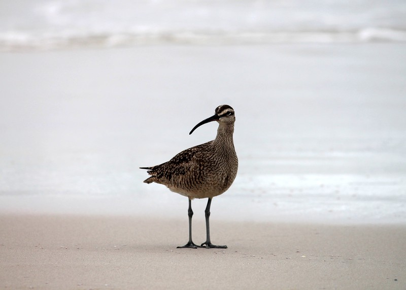 Whimbrel at Asilomar Monterey Bay 2