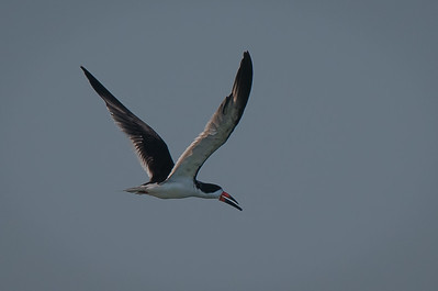 Black Skimmer wings up