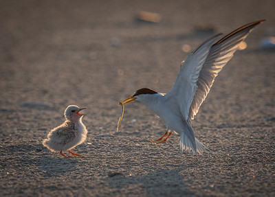 Least Tern food for chick