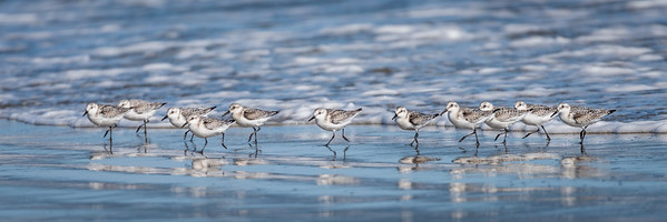 Sanderlings at Drakes Beach, Point Reyes National Seashore.
